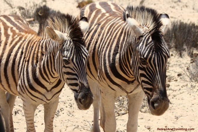Zebra Animal Encounters - Reasons To Visit Cape Town.jpg