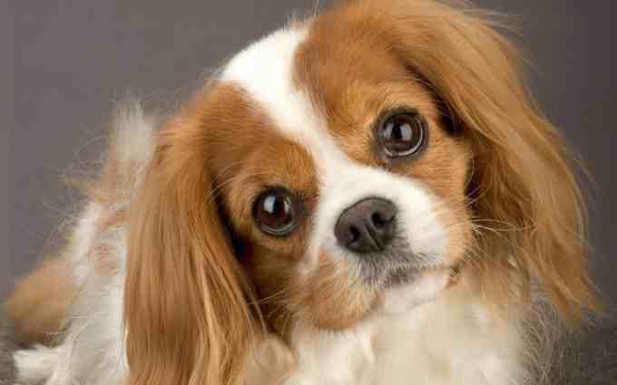 best dogs for seniors - King Charles Spaniel