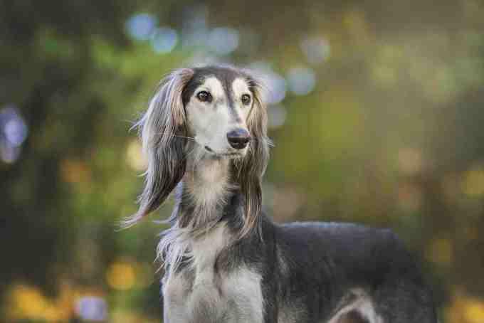 dogs for seniors - greyhound