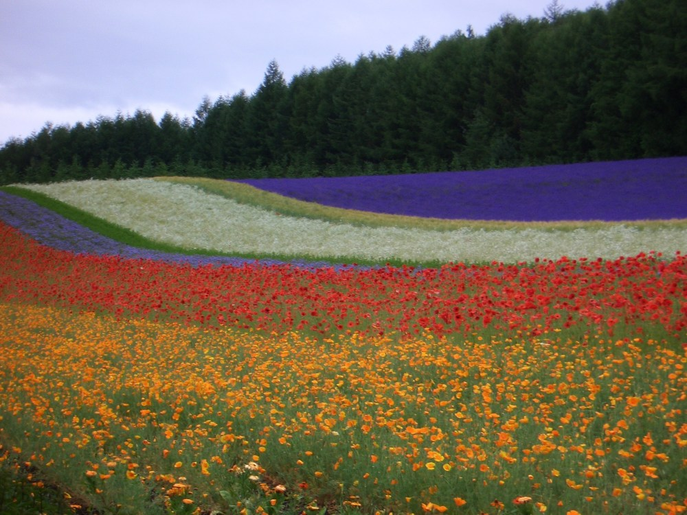The Rainbow of Flowers in Biei and Furano, Japan (4/6)