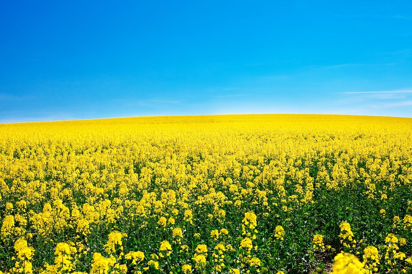 9880237 - field of yellow rape against the blue sky