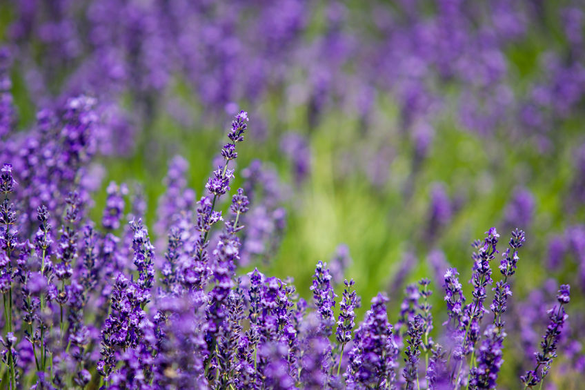 42973152 - beautiful lavender garden in hokkaido, japan.