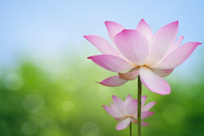 9576565 - pink lotus