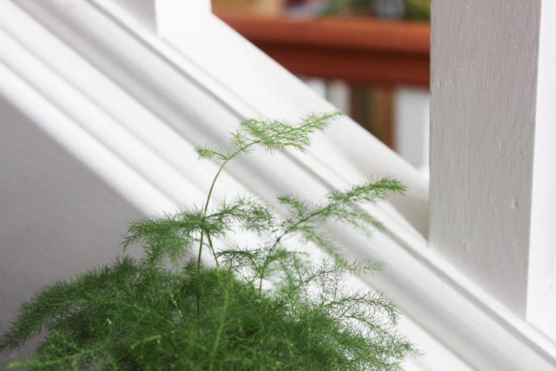 close up of asparagus plumosa fern