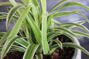 spider plant up close