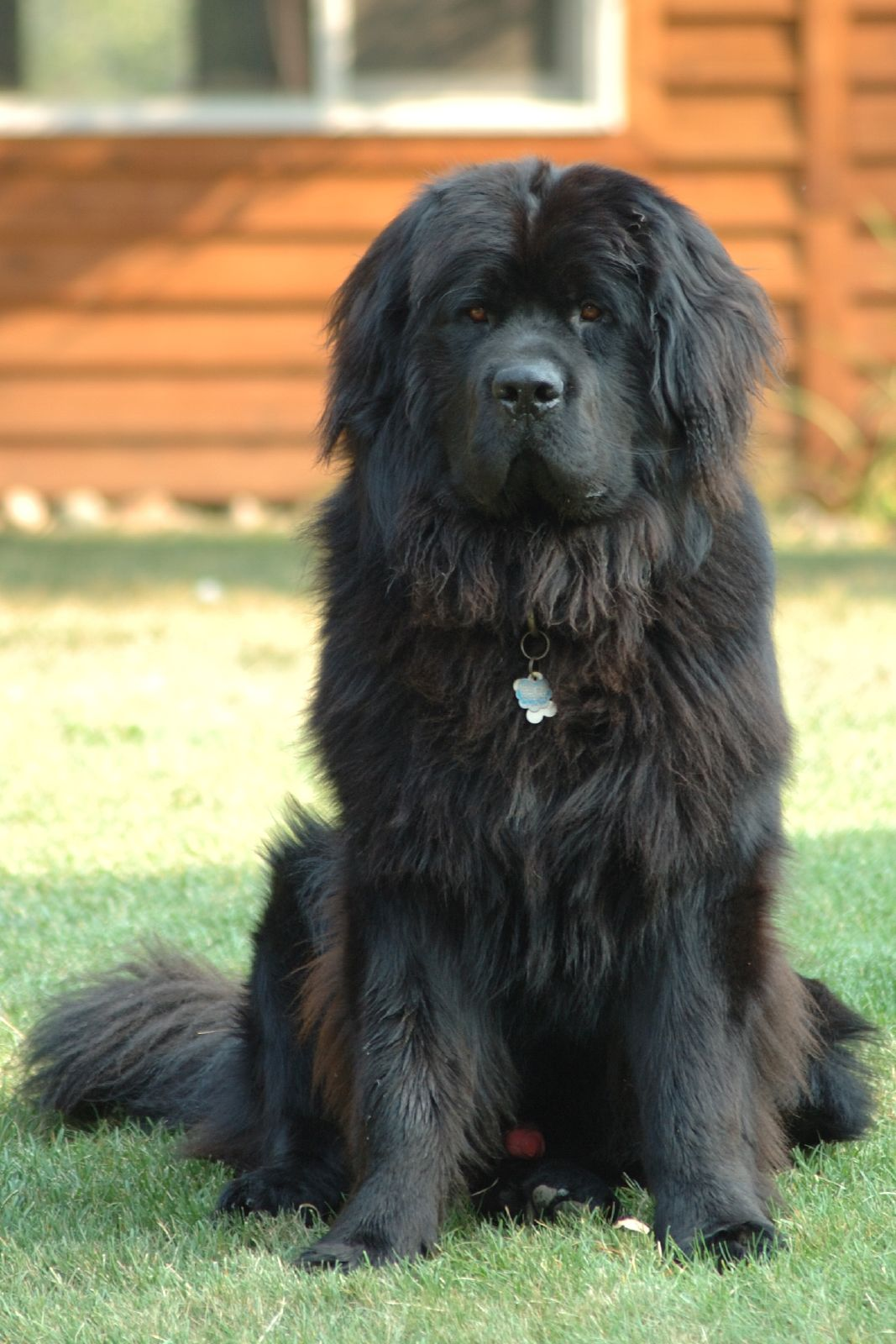 After World War II, the Soviets used Newfoundlands to create the Moscow retriever.