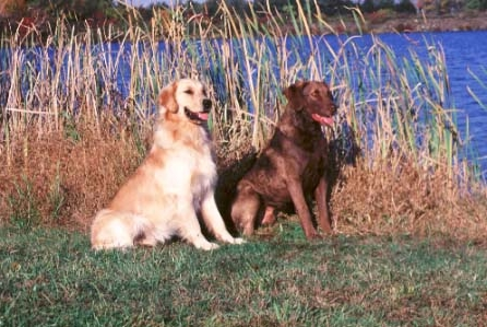 The golden and the Chesapeake Bay retriever are very different dogs with a common ancestry.