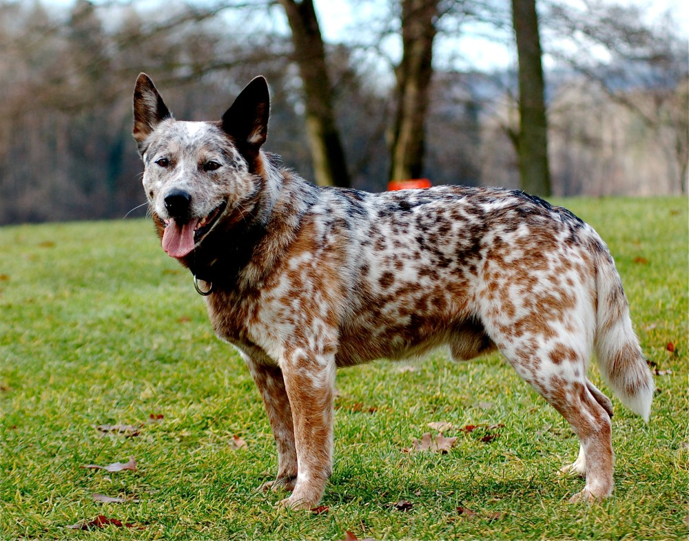 Red and blue heeler