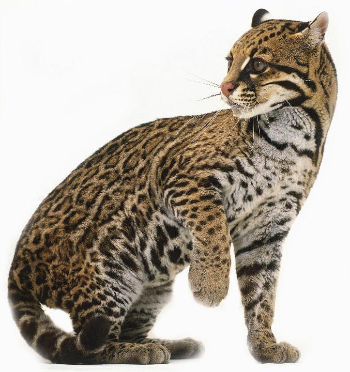 Errant serval mistaken for ocelot in Arizona (2/2)