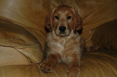 A look at some real Irish setter-Golden crosses (3/5)