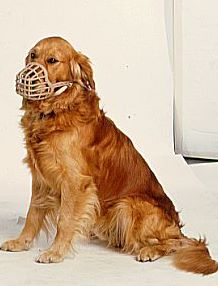 Are golden retrievers becoming more aggressive?