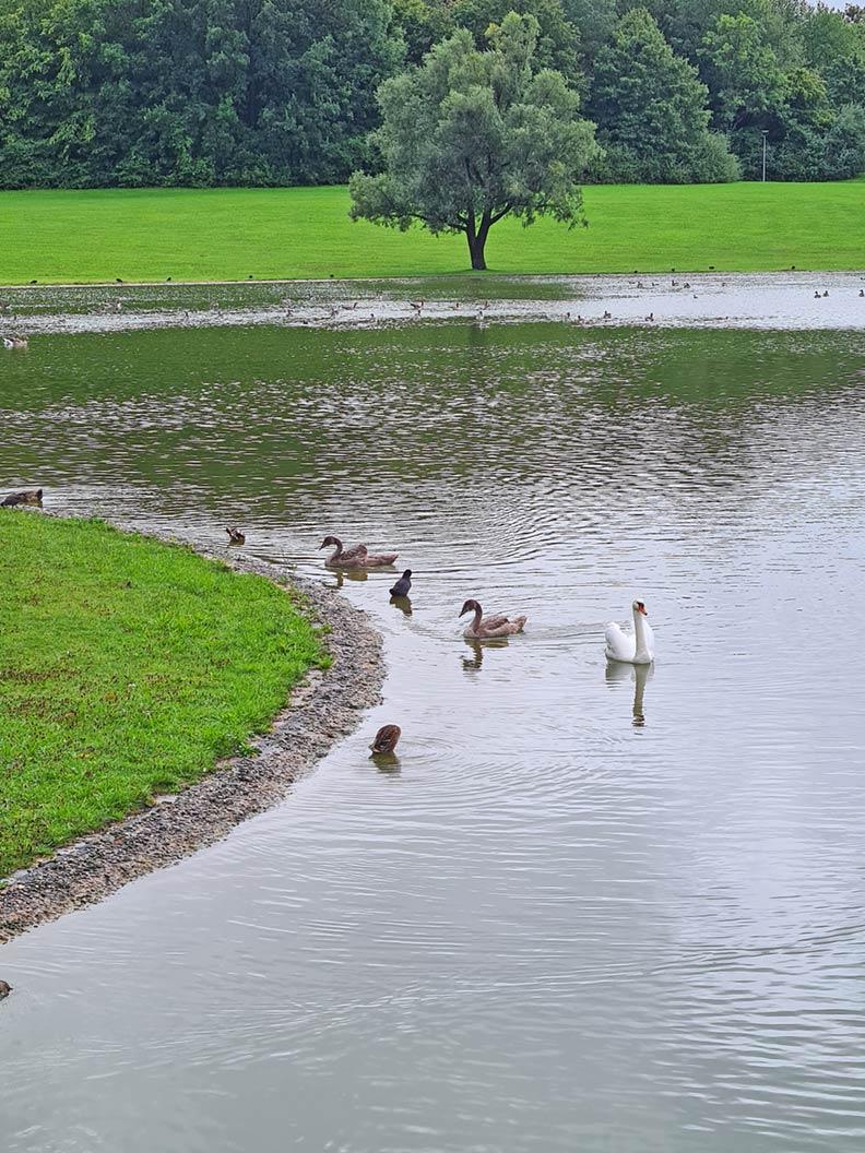 Enten und Schwäne in einem Münchner Park