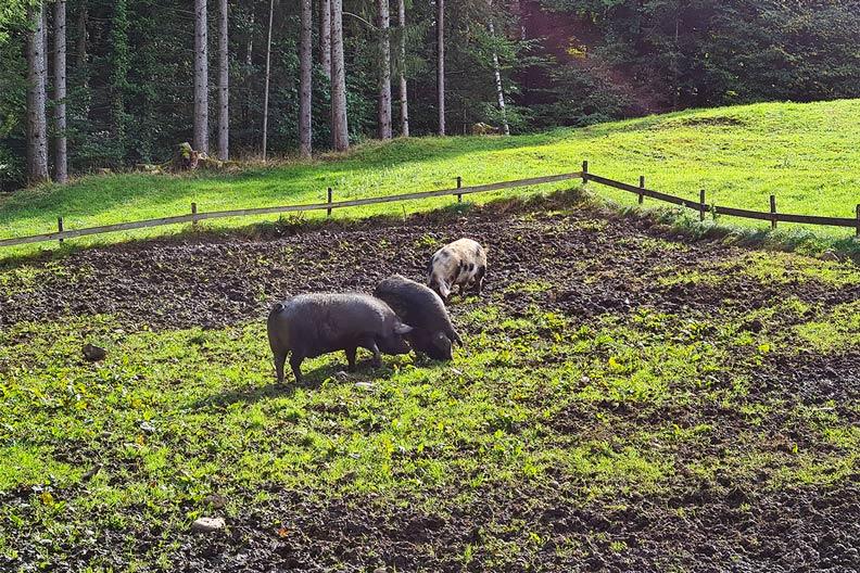 Schweine im Freilichtmuseum Glentleiten