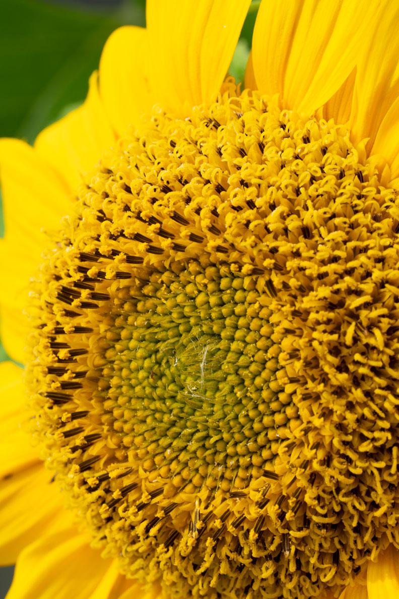 RetroCats Sonnenblume: Makro-Aufnahme