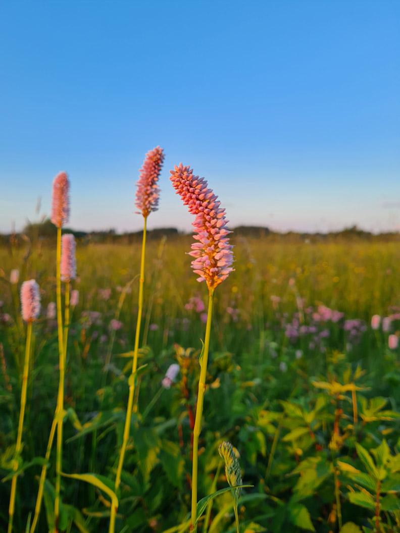 Wildblumen auf einer Blumenwiese