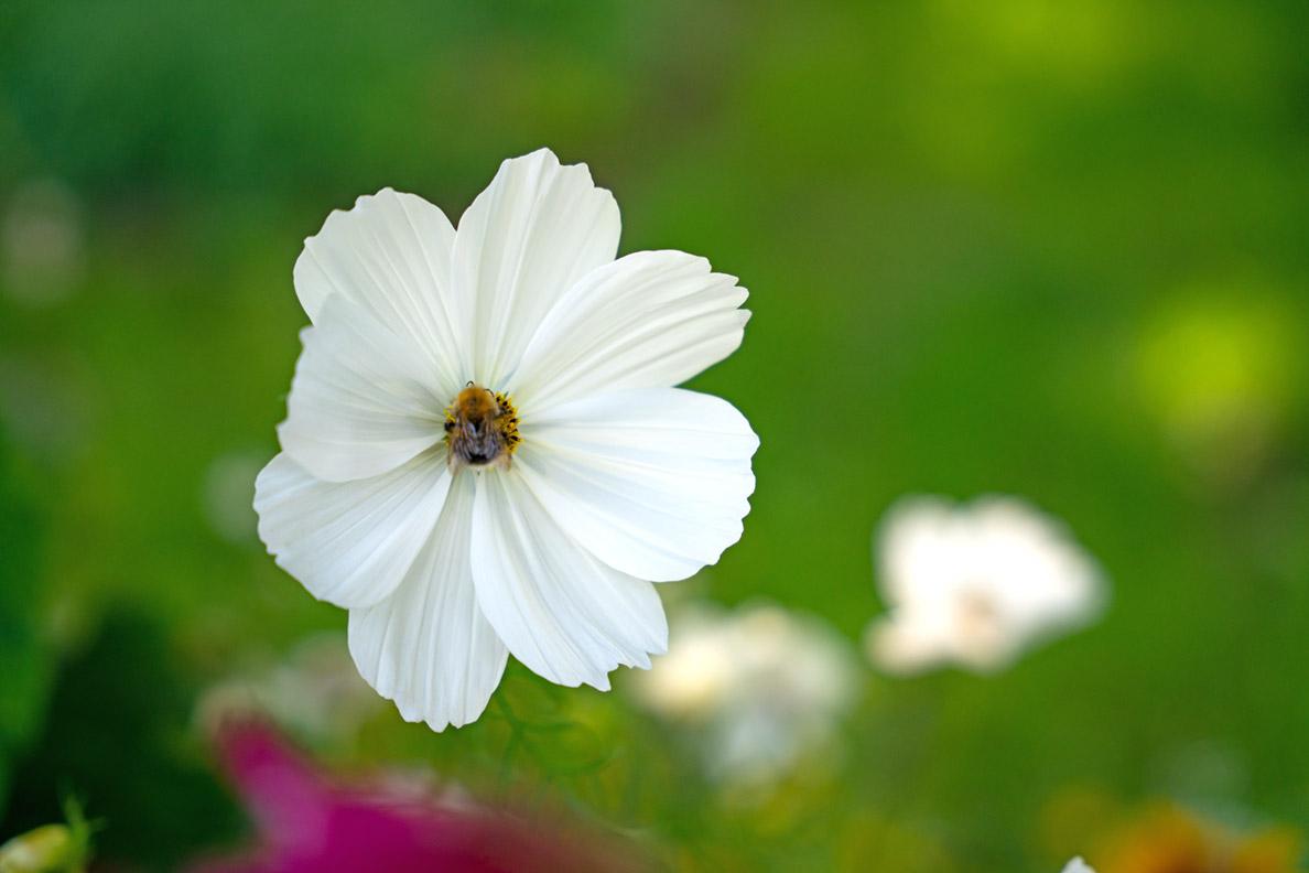 Eine Biene auf einer weißen Blüte