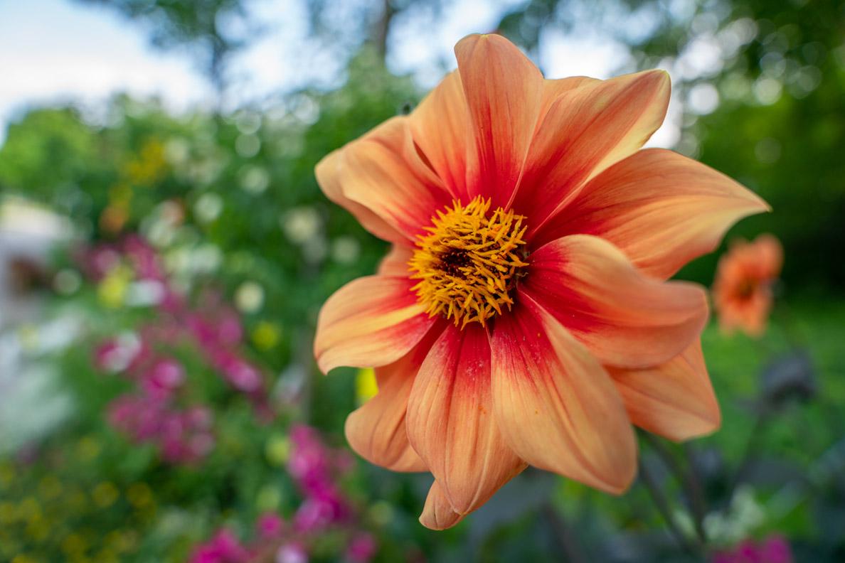 Eine orange Blüte im Naherholungspark Rosengarten München