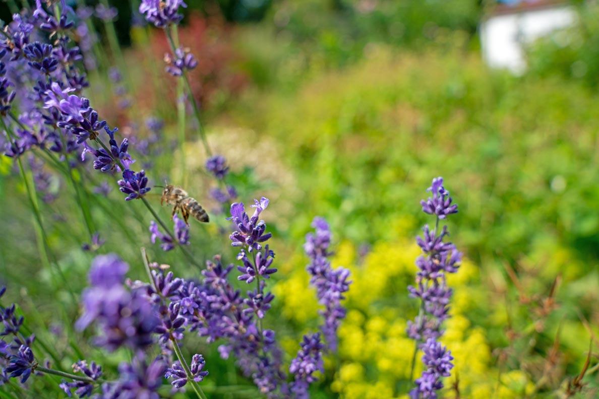 Lavendel im Rosengarten München: Einem kleinen Park an der Isar