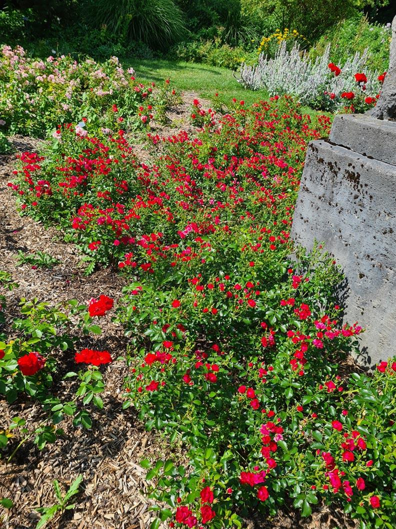Zahlreiche rote Rosen im Rosengarten München