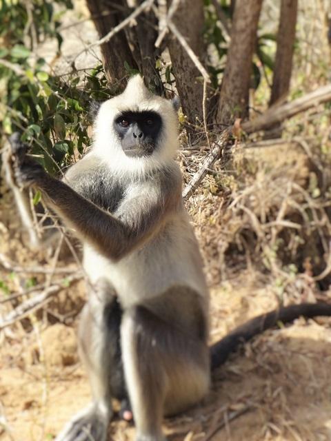 Yala - Monkey