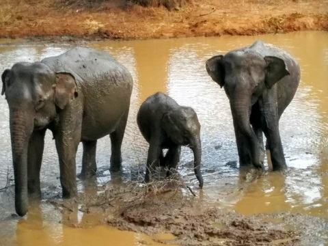 Yala - Mummy and Baby Elephants Bathing