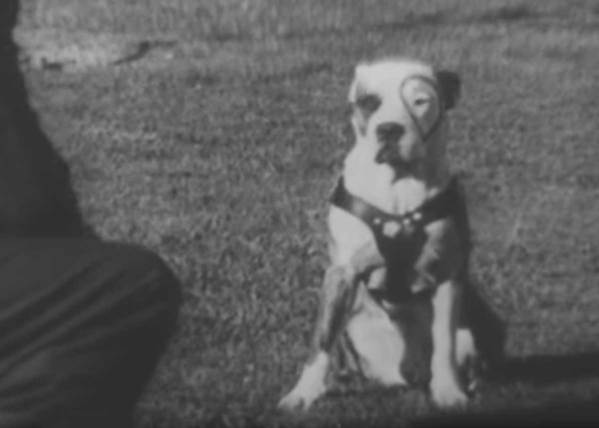 "Petey (Pete the Pup) from ""Our Gang"" was one smart dog"