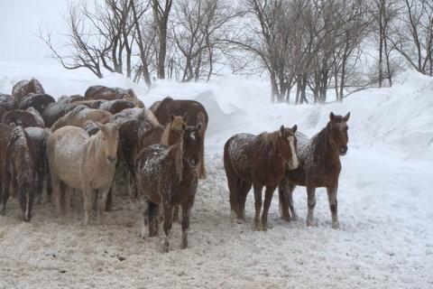 South Dakota Wild Horses
