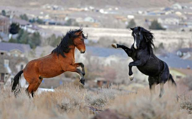 Wild_Horses_Nevada_Lawsuit_64358-4076d