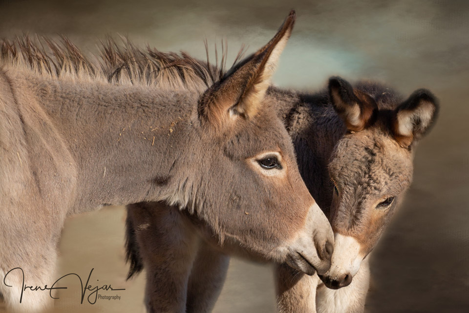 burro love