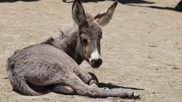 burros 3