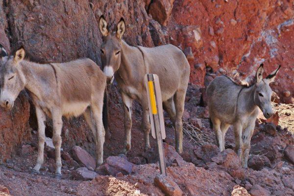 burros
