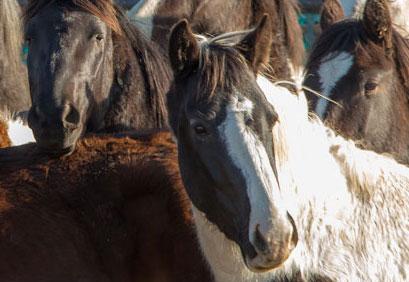 Cedar Mountain Wild Horse Capture