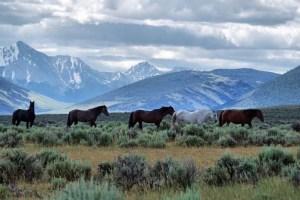 Challis Herd