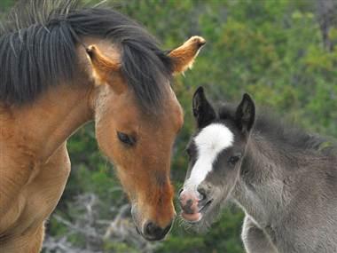 What happened to 1700 wild horses?