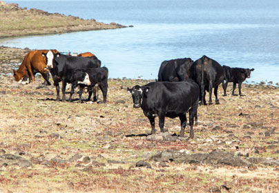Devil's Garden Cattle Grazing