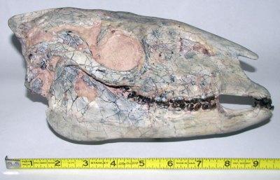Miohippus Skull