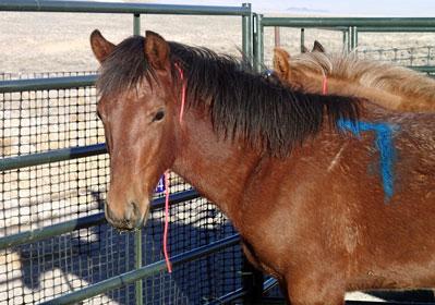 Reveille Wild Horse
