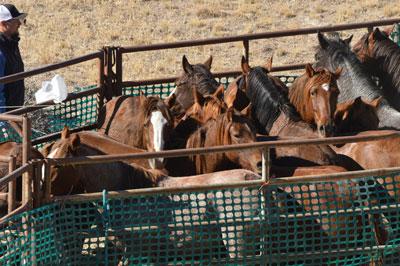 BLM Temporary Holding Wild Horses
