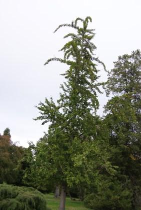 Gingko biloba mother tree