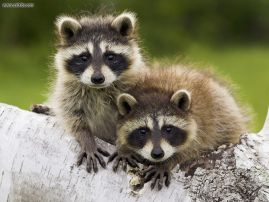 Day_3_of_11__File_50_of_50__Young_Raccoons_Minnesota