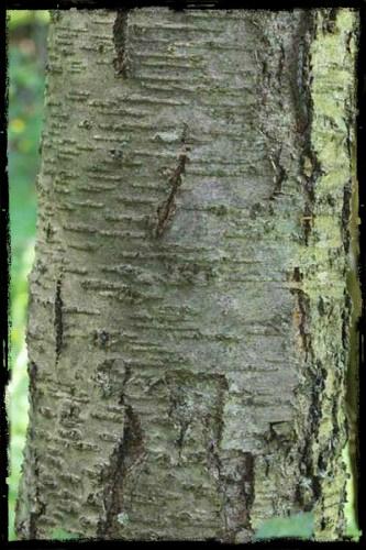 birch lenticels
