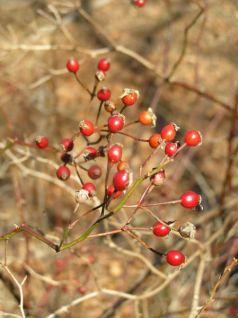 winterweeds_multiflora_rosehips_rsz_diannemachesney