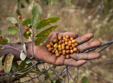 Picking wild berries. At the Hadza camp of Senkele.