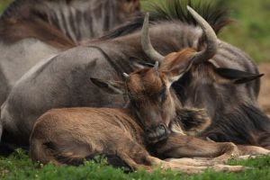 A baby Wildebeest sleeps at Port Lympne Wild Animal Park
