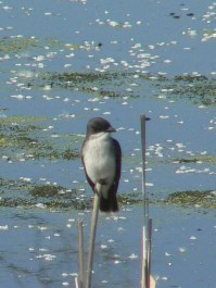 Kingbird a la Monet