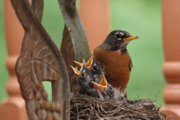 Robins of Spring