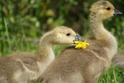 Gosling eating a dandelion. It took some work but got it down.
