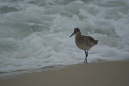 a willet strolling along the beach in front of waves crashing on shore