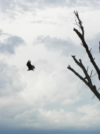 Bald Eagle taking off