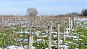 Les jeunes vignes du Château de la Ferté (vin de Reuilly)